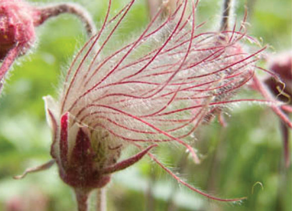 Geum triflorum