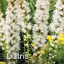 Liatris spicata Floristan White - Blazing Star