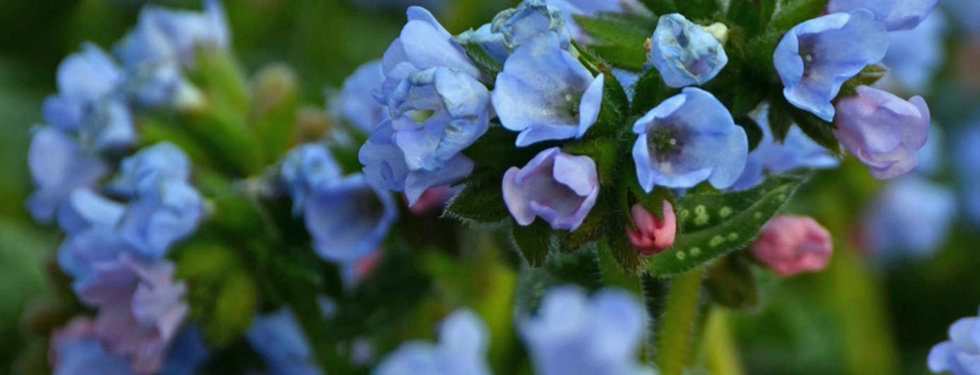 Pulmonaria Majeste - Lungwort.jpeg