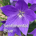 Platycodon g. Sentimental Blue - Balloon