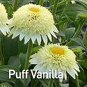 Echinacea Puff Vanilla - Coneflower.jpeg