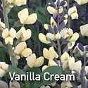 Baptisia Vanilla Cream - False Indigo