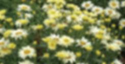 Leucanthemum - Shasta Diasy