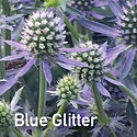 Eryngium Blue Glitter - Sea Holly