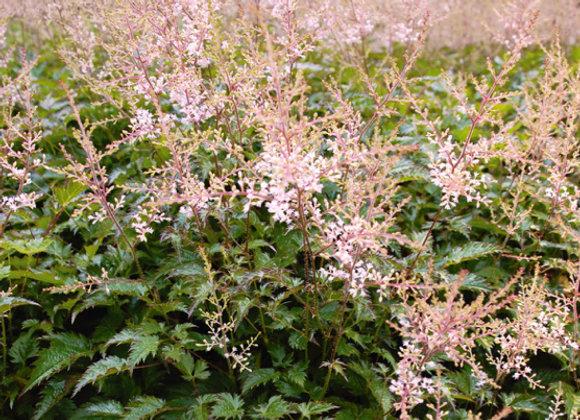 Astilbesimplicifolia'Sprite'