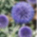 Echinops ritro - Globe Thistle.png