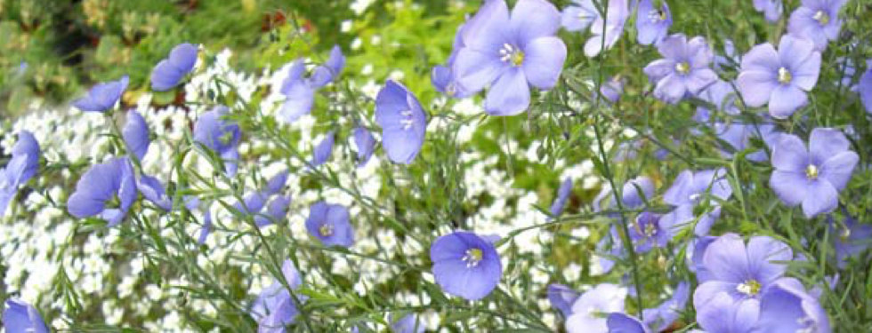 Linum perenne - Flax.jpeg