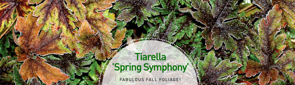 Tiarella Spring Symphony - Foam Flower.jpeg