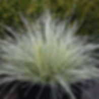 Deschampsia c. Northern Lights - Tufted Hair Grass