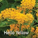 Asclepias tuberosa Hello Yellow - Butterfly Weed