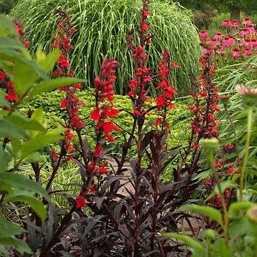 Lobelia Queen Victoria - Cardinal Flower