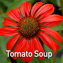 Echinacea Tomato Soup - Coneflower.jpeg