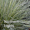 Deschampsia Northern Lights - Tufted Hair Grass