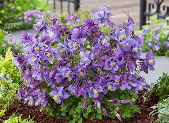 Aquilegia 'Earlybird Purple Blue'