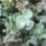 Sedum sieboldii - Stonecrop
