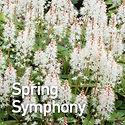 Tiarella Spring Symphony - Foam Flower.j