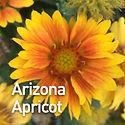 Gaillardia g. Arizona Apricot - Blanket