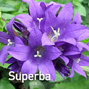 Campanula g. Superba - Clustered Bellflo