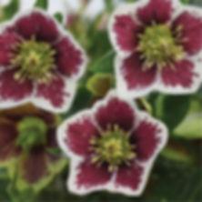 Helleborus Romantic Getaway - Lenten Ros