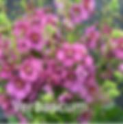 Verbascum Plum Smokey.