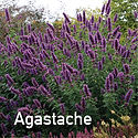 Agastache Blue Boa - Anise Hyssop