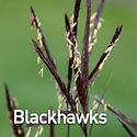 Andropogon g. Blackhawks - Big Bluestem.