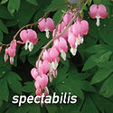 Dicentra spectabilis - Old Fashioned Bleeding Heart
