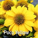 Echinacea Poco Yellow - Coneflower.jpeg