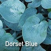 Hosta Dorset Blue