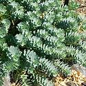 Euphorbia myrsinites - Donkey Tail Spurg