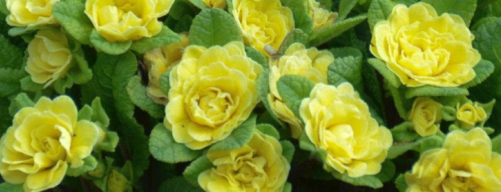 Primula Belarina Buttercup - Primrose.jp