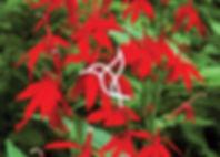 Perennials for Hummingbirds - Lobelia cardinalis