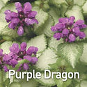 Lamium m. Purple Dragon - Dead Nettle.jp