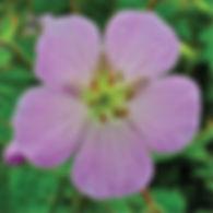 Geranium maculatum - Native Cranesbill.j