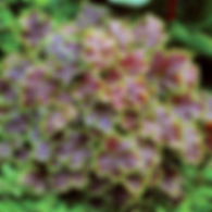 Heucherella Solar Eclipse - Foamy Bells