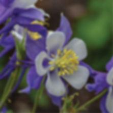 Aquilegia Songbird Blue Jay - Columbine.