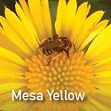 Gaillardia Mesa Yellow - Blanket Flower