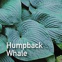 Hosta Humpback Whale