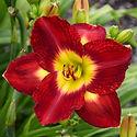 Hemerocallis Passion for Red - Daylily.j