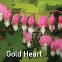 Dicentra s. Gold Heart - Bleeding Heart