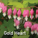 Dicentra s. Gold Heart - Bleeding Heart