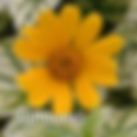 Heliopsis Sunburst - False Sunflower