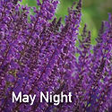 Salvia May Night