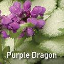 Lamium Purple Dragon - Dead Nettle.