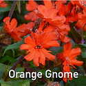 Lychnis Orange Gnome - Maltese Cross