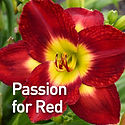 Hemerocallis Passion for Red - Daylily.j