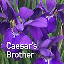 Iris s. Caesar's Brother - Siberian Iris