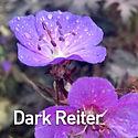 Geranium p. Dark Reiter - Cranesbill.jpe