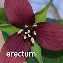 Trillium erectum - Wake Robin.jpeg