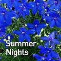 Delphinium g. Summer Nights - Larkspur.j